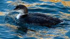 Great Northern Diver non-breeding