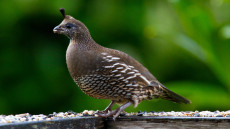 California Quail adult female