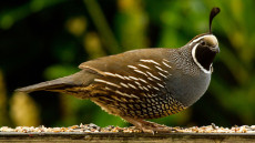 California Quail adult male