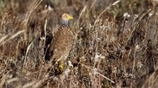 Plains-wanderer adult female