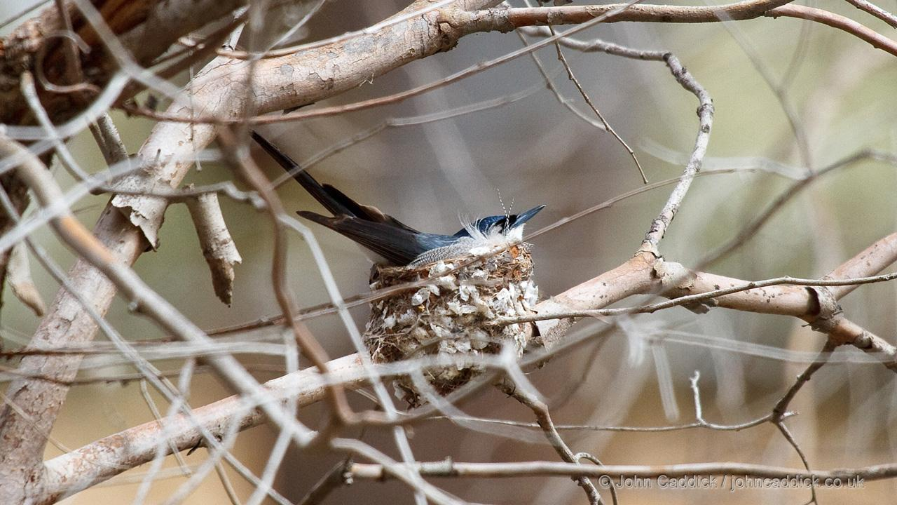 Restless Flycatcher on the nest