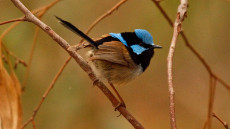 Superb Fairywren adult male
