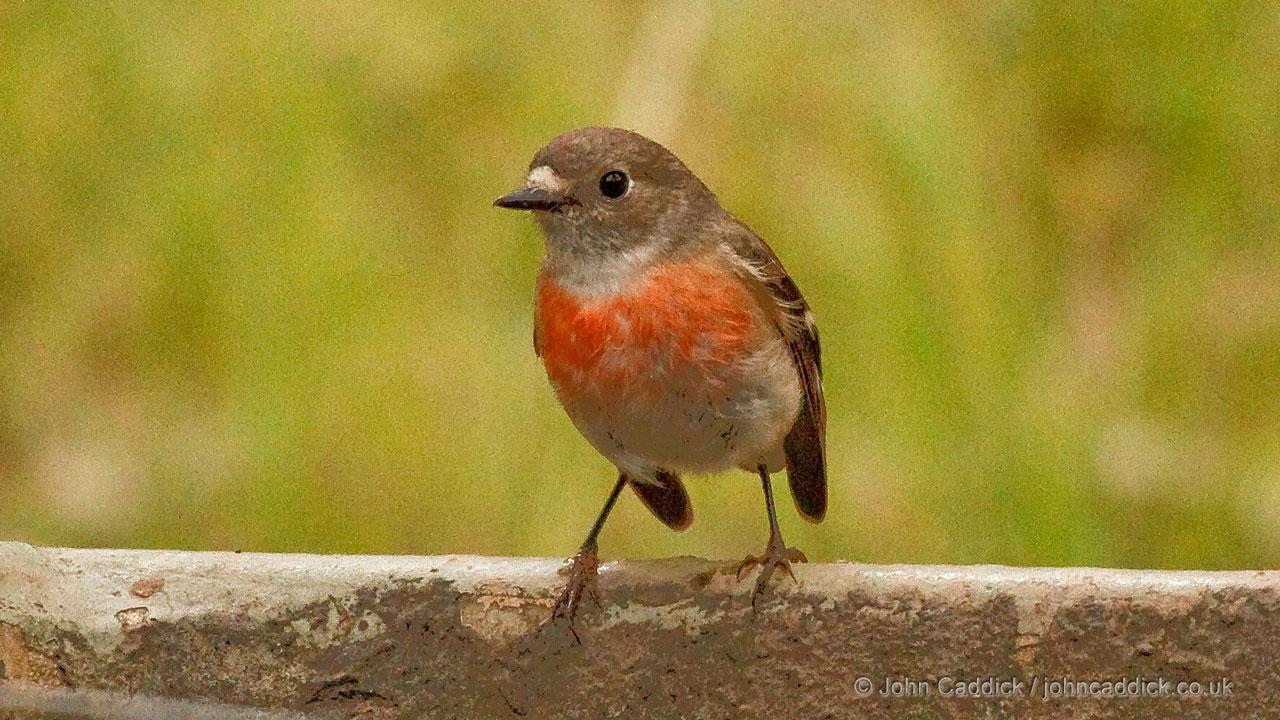 Scarlet Robin adult female
