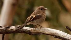 Scarlet Robin juvenile