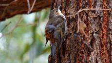 White-throated Treecreeper adult female