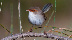 Superb Fairywren adult female