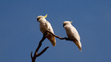 Sulphur-crested Cockatoos