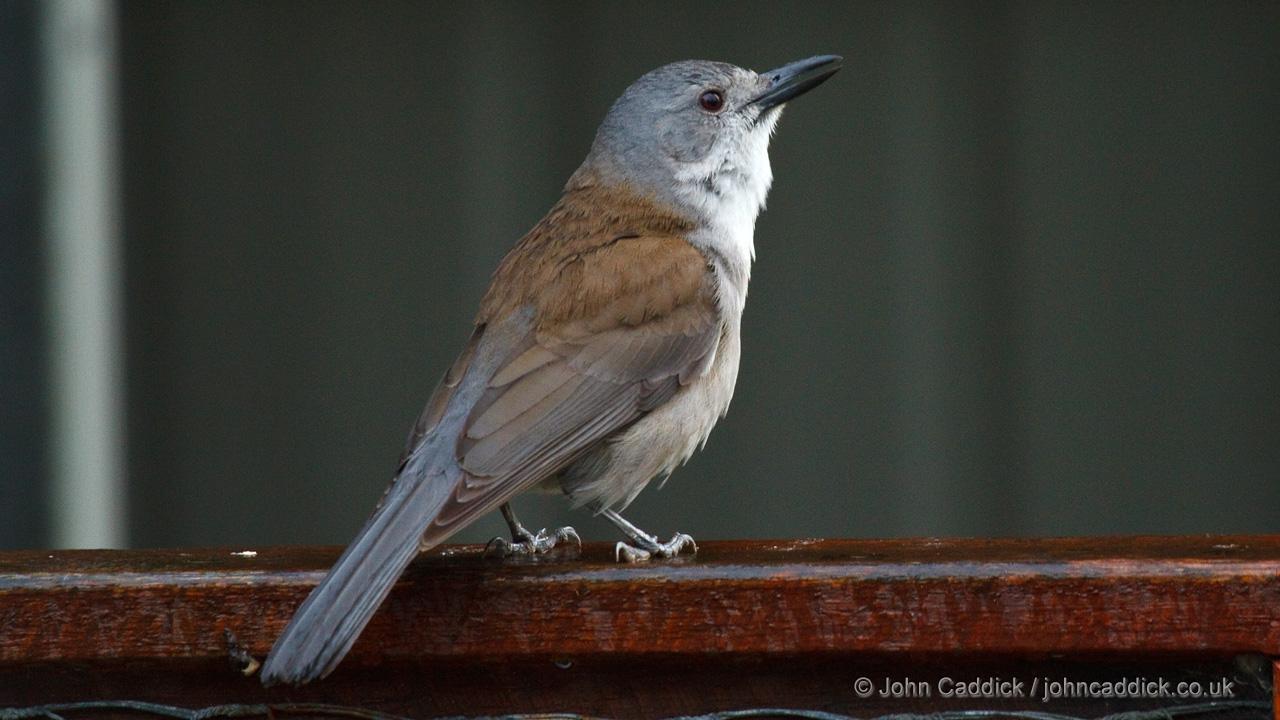 Grey Shrikethrush adult