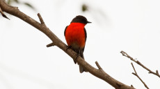 Flame Robin adult male