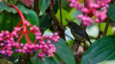 Black-sided Flowerpecker juvenile female