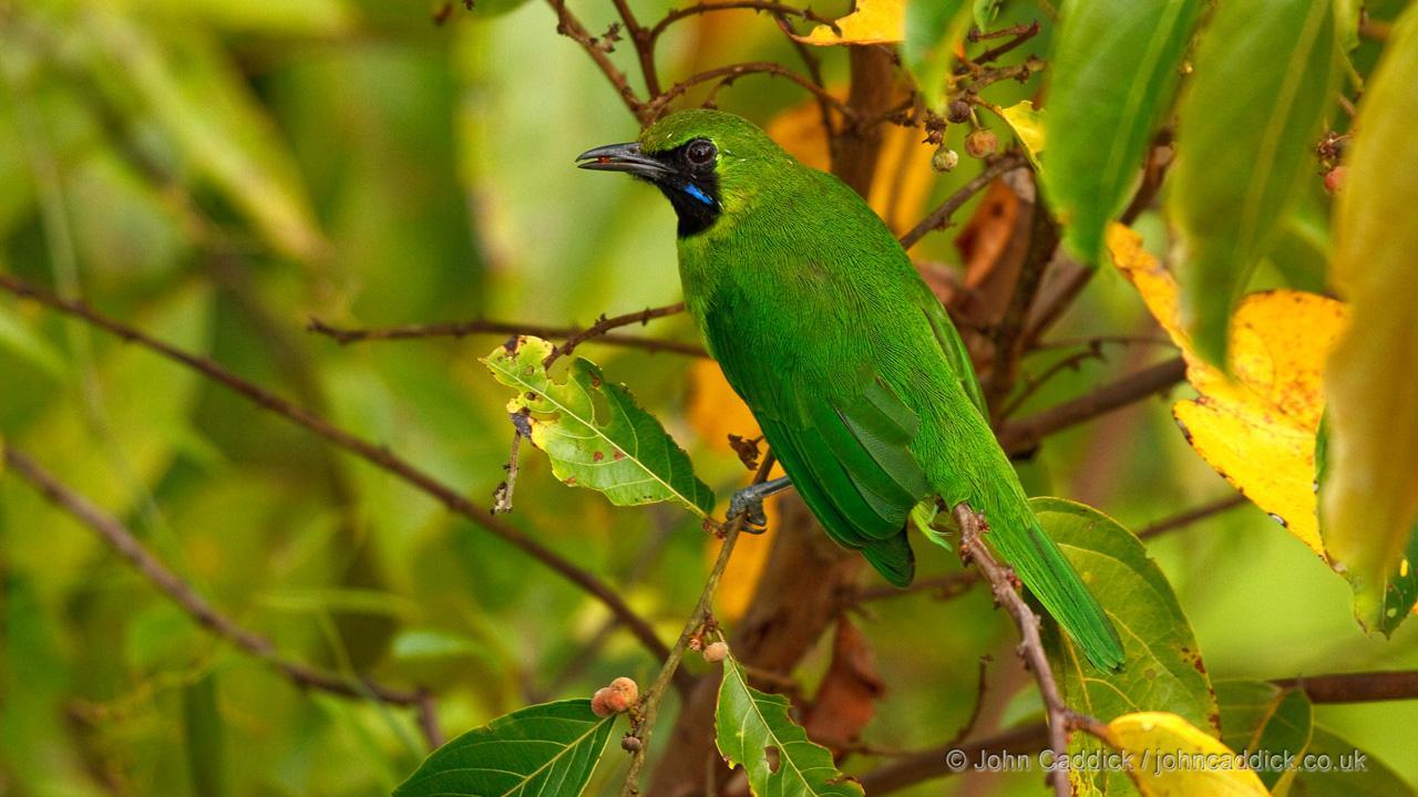 Lesser Green Leafbird adult male
