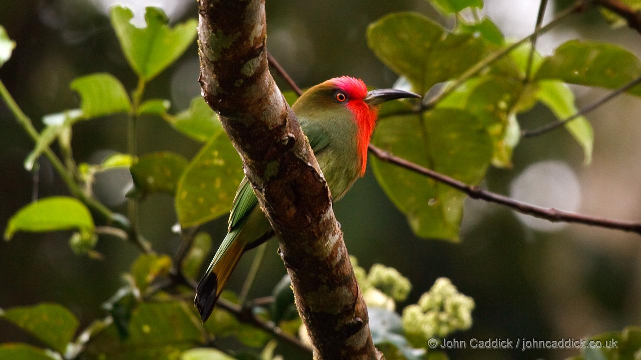 Red-bearded Bee-eater adult female