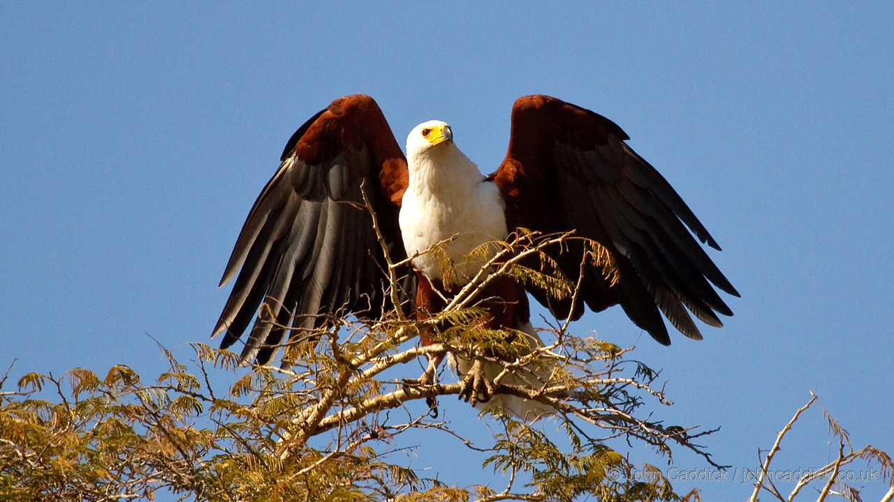 African Fish Eagle adult