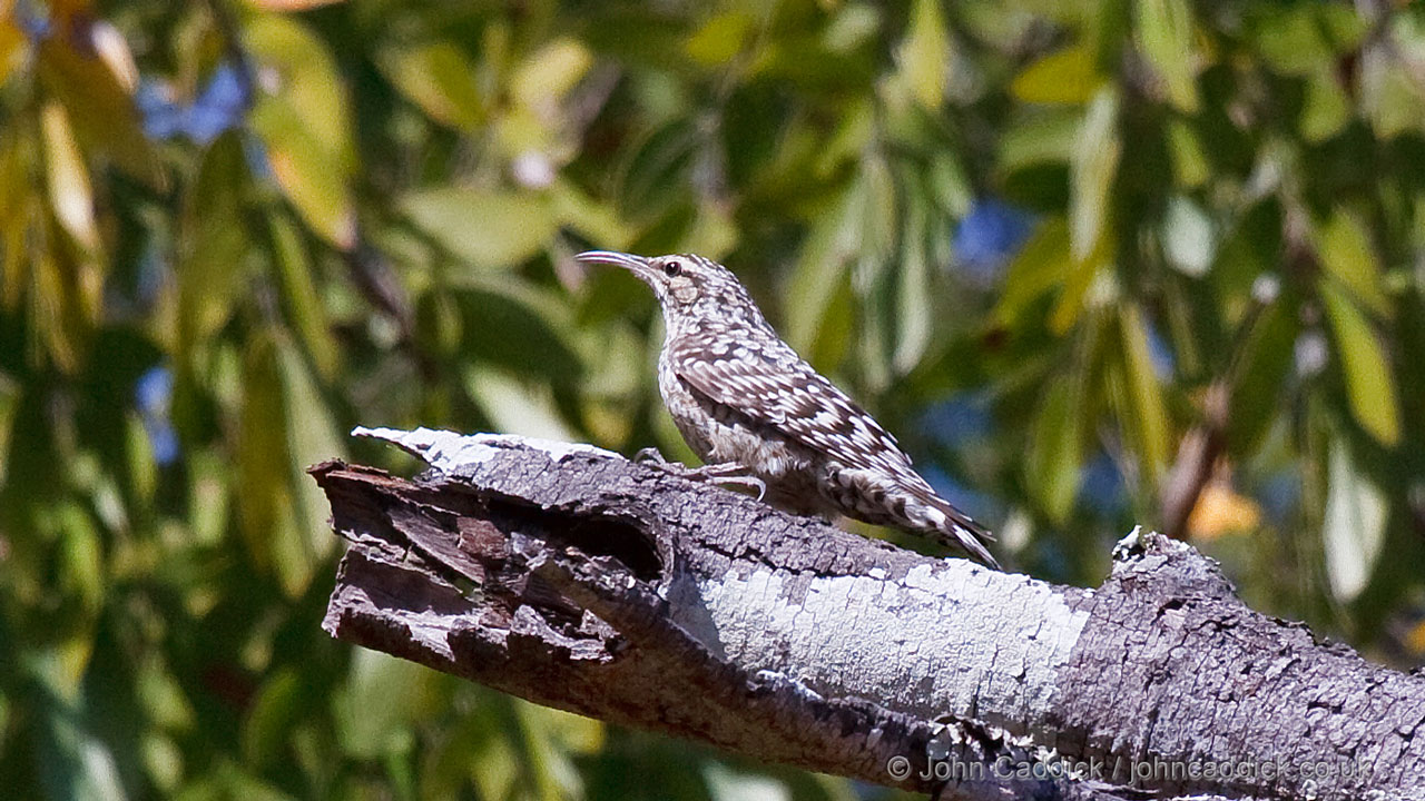 African Spotted Creeper