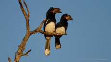 Trumpeter Hornbill male and female