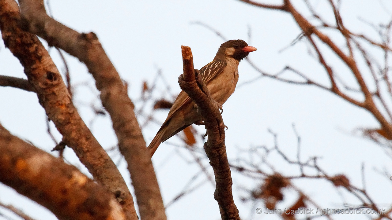 Greater Honeyguide