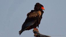 Bateleur adult female