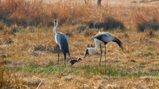 Wattled Cranes with chick