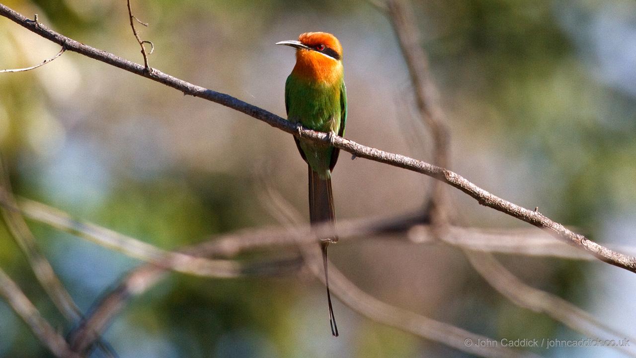 Bohm's Bee-eater