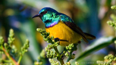 Collared Sunbird adult male
