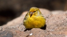 Atlantic Canary adult male