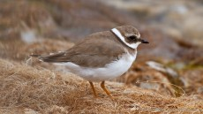 Common Ringed Plover adult non-breeding