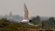 Mediterranean Gull in breeding plumage