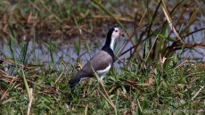 Long-toed Lapwing adult