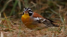 Golden-breasted Bunting adult