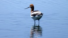 American Avocet adult male in breeding plumage