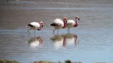 Andean Flamingo