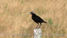White-browed Blackbird