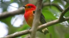 Band-tailed Manakin male
