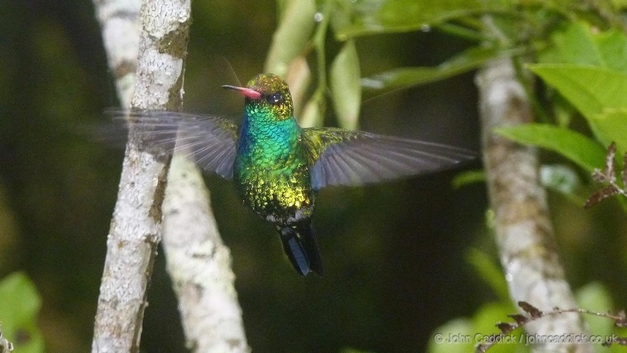 Glittering-bellied Emerald male