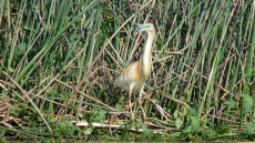 Squacco Heron in breeding plumage