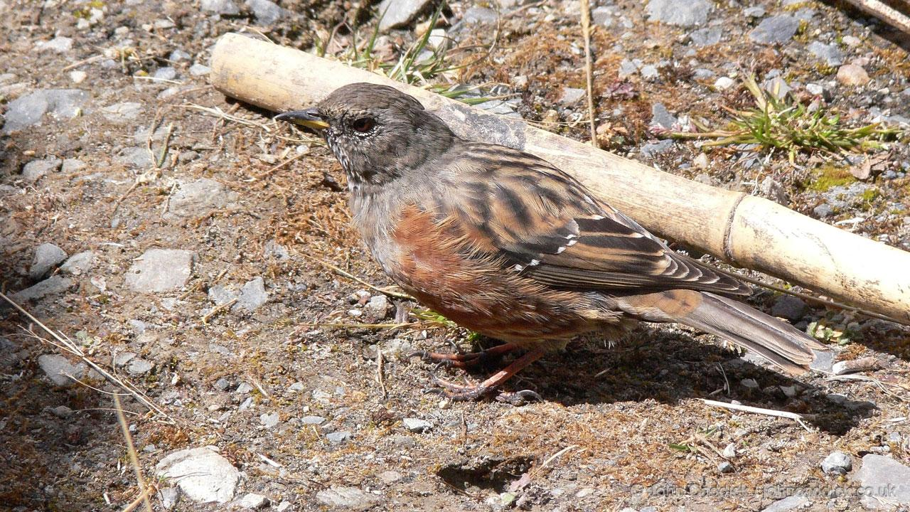 Alpine Accentor adult
