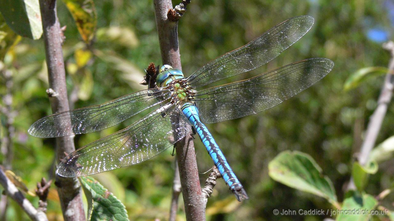 Emperor dragonfly male