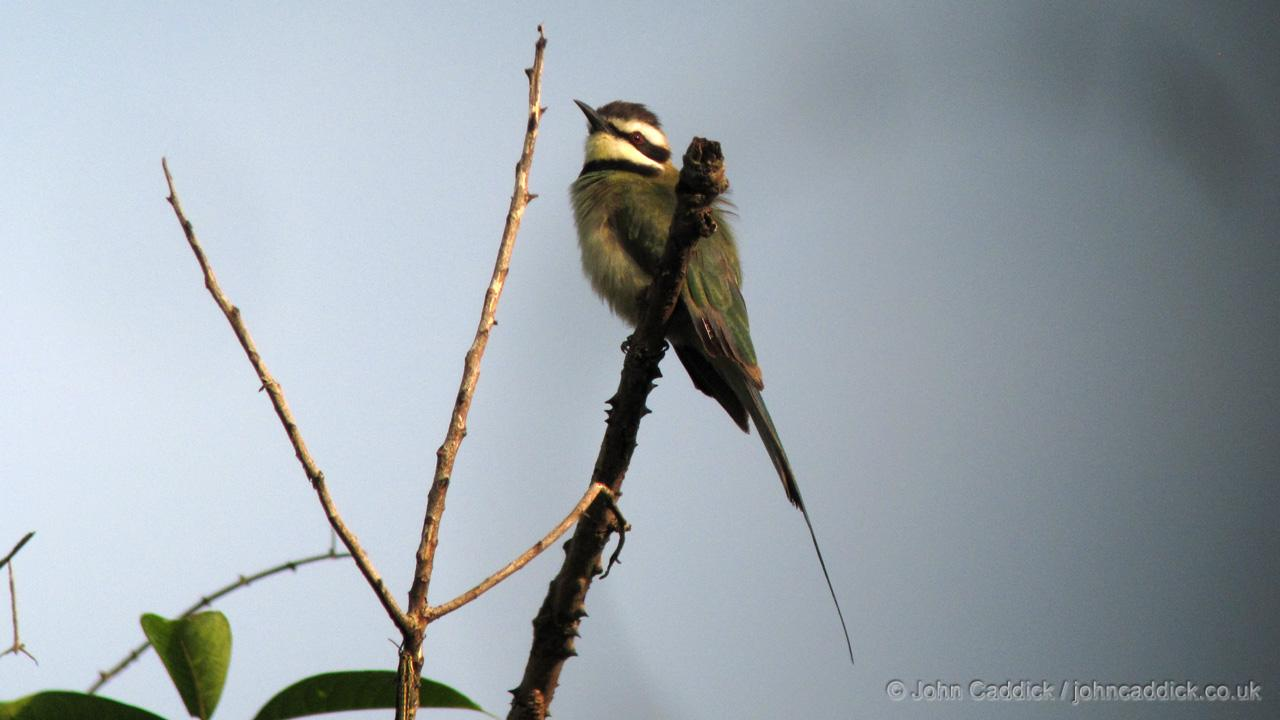 White-throated Bee-eater adult