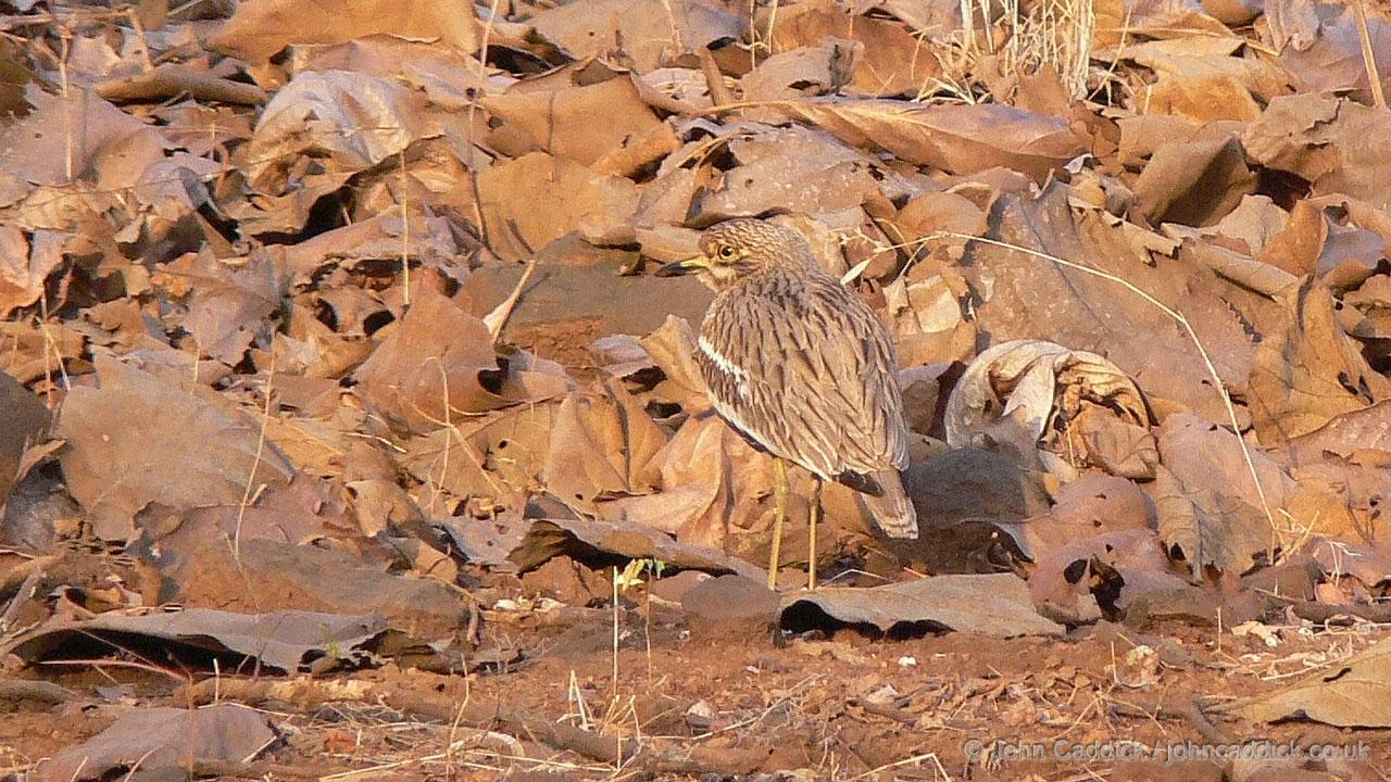 Indian Stone-curlew juvenile