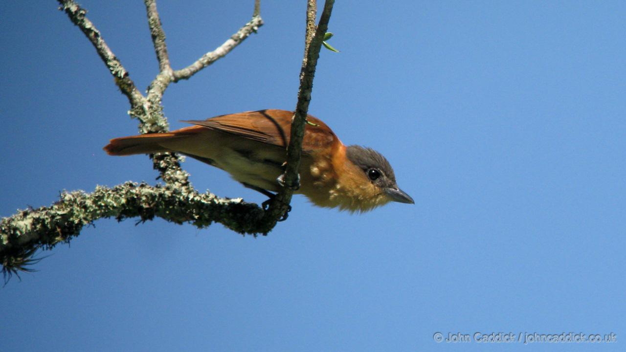 Crested Becard female