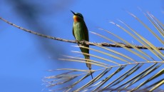 Blue-cheeked Bee-eater adult