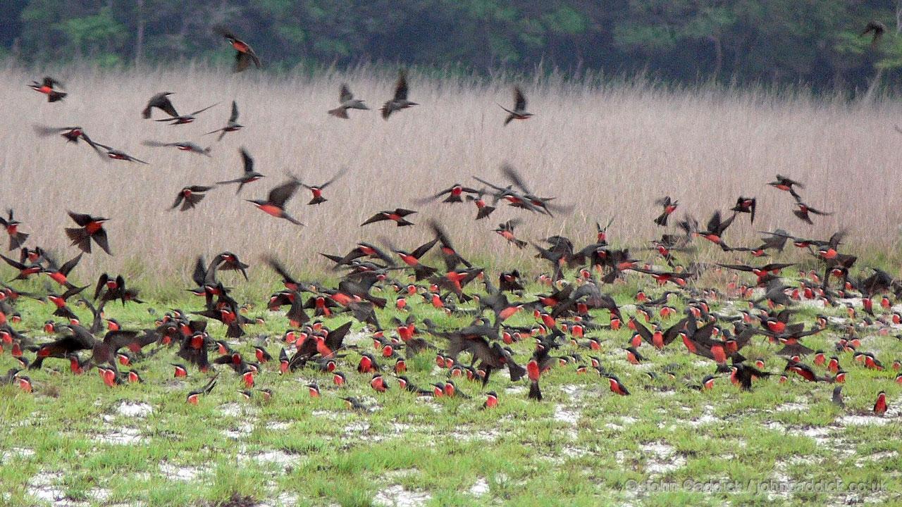 Rosy Bee-eater colony