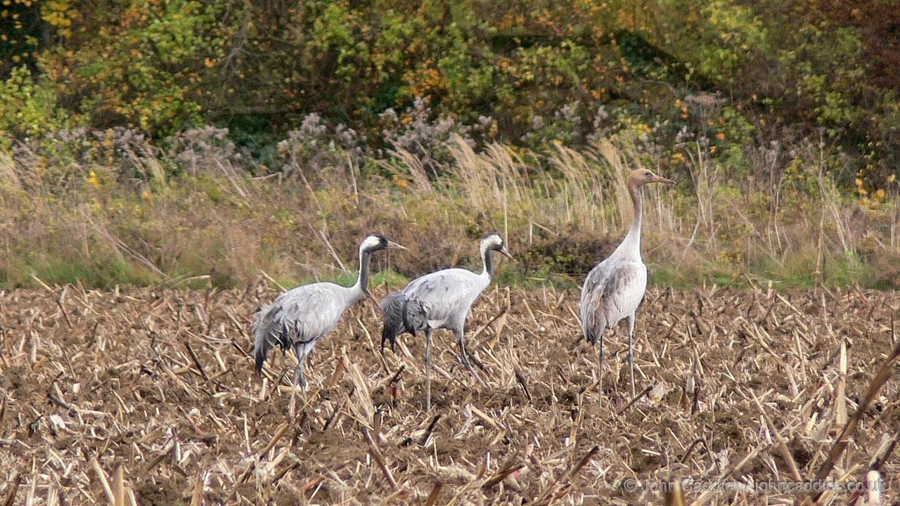 Common Crane adults and juvenile