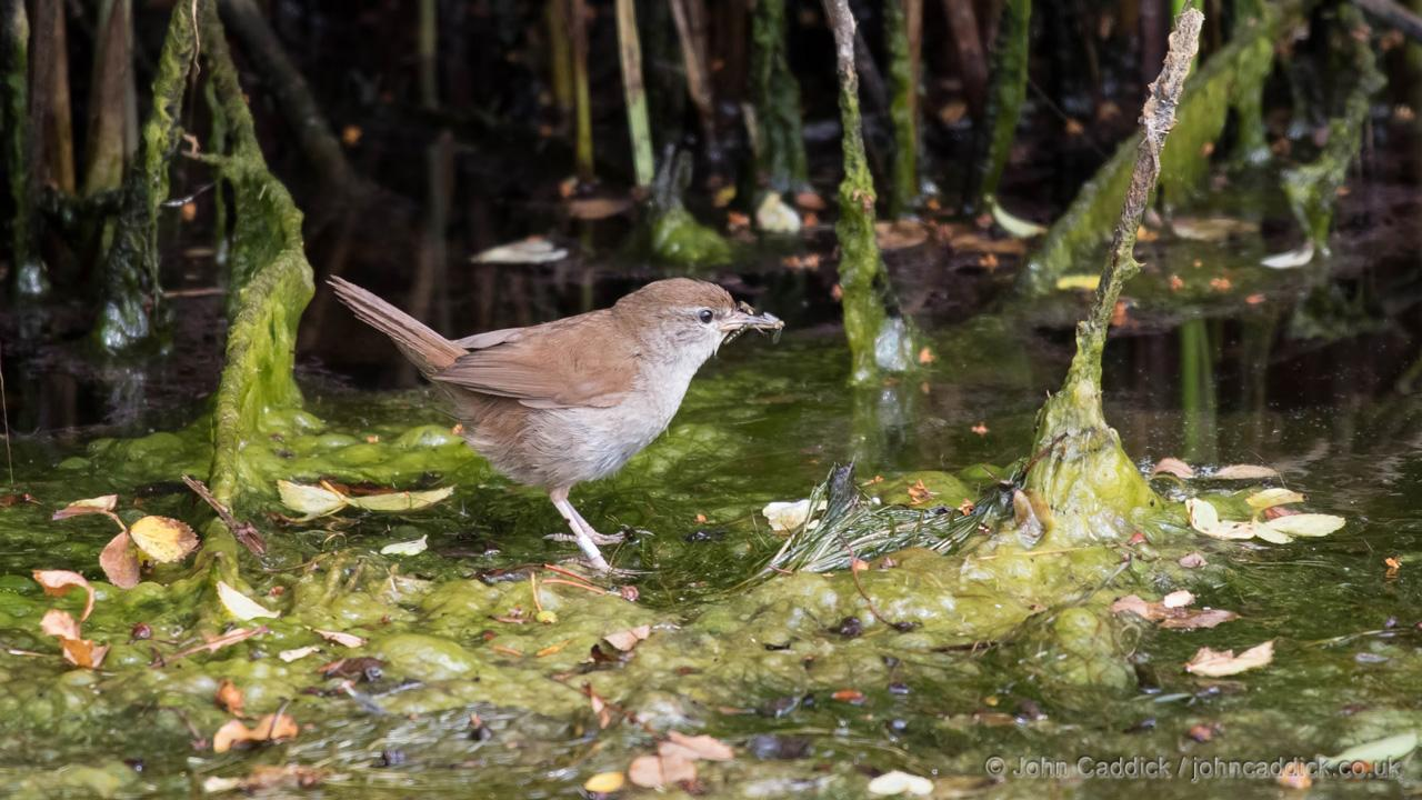 Cetti's Warbler adult