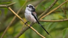 Long-tailed Tit adult