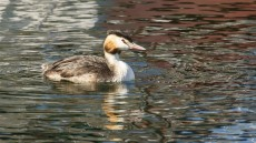 Great Crested Grebe adult