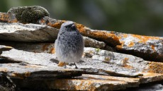 Black Redstart juvenile male