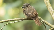 White-whiskered Puffbird