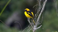 Yellow-tailed Oriole