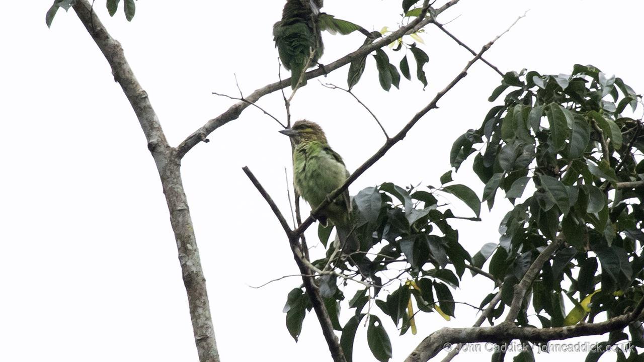 Green-eared Barbet